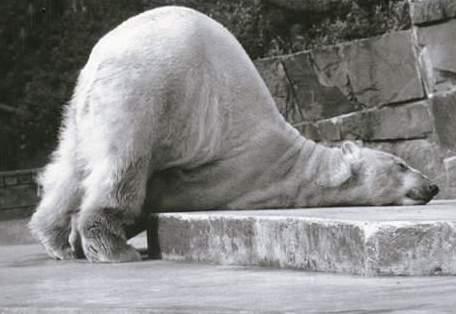 Eisbär macht Hunde Asana