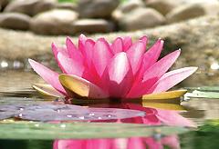 ayurveda lotus