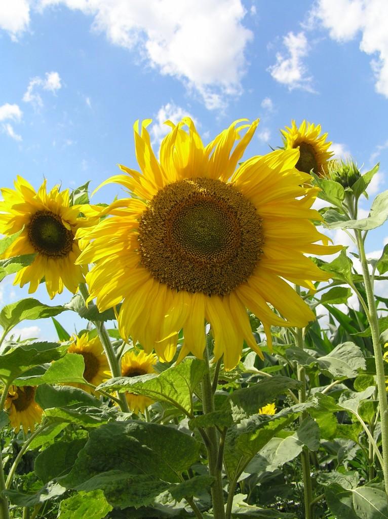 Sonnenblumen - Foto: Jens Mügge