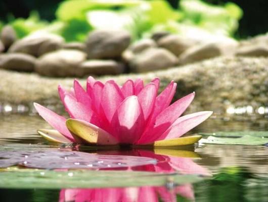 Lotus01-kl ( 1)