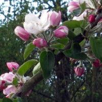 Apfelbluete