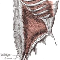 Gray_Anatomie_Faszien_Muskeln_Bindegewebe