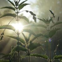 Brennnesseln im Morgensonnenlicht